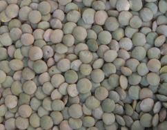 lentils1.jpg
