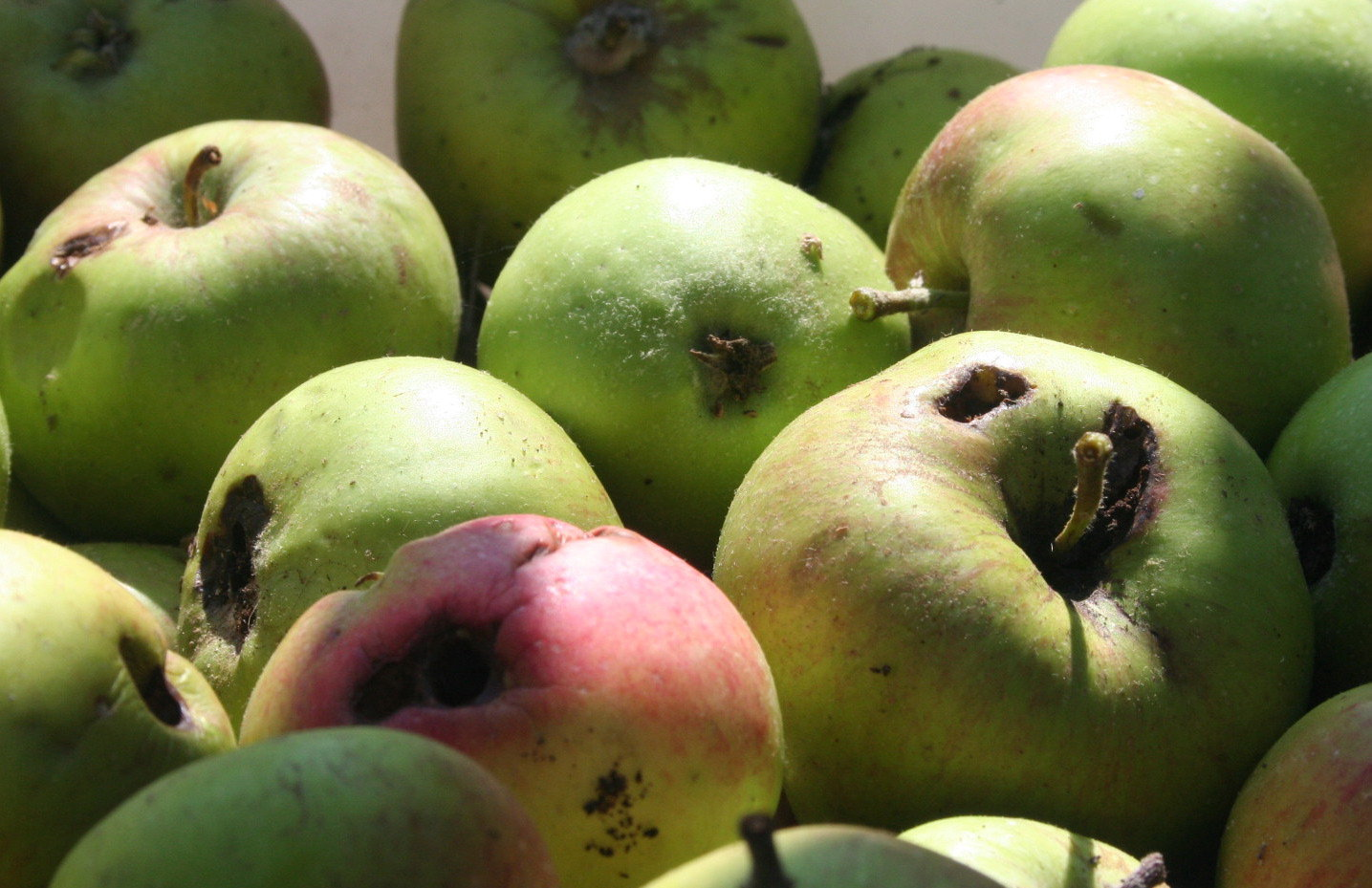 apples for chickens | ...