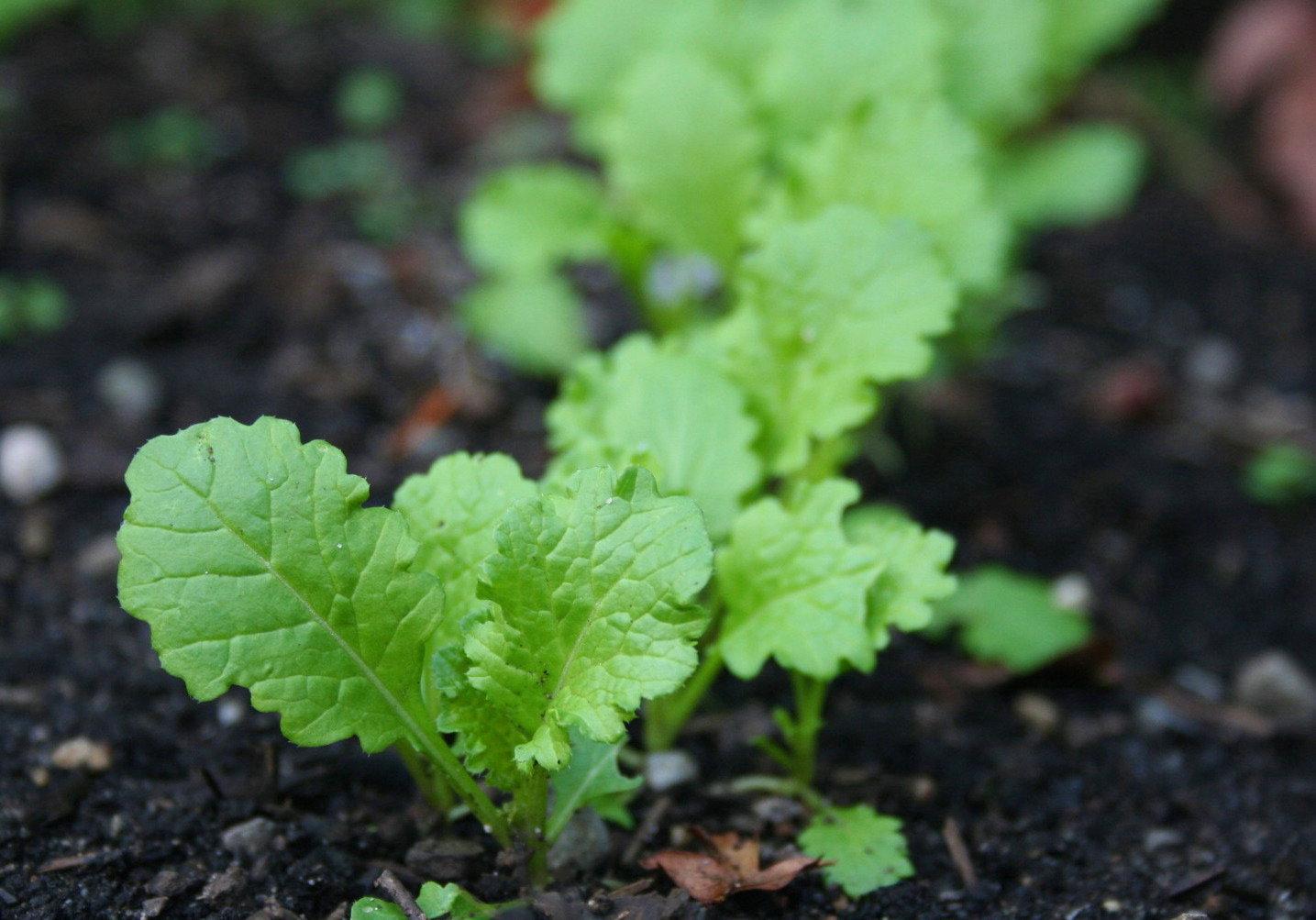 BMP: GARLIC MUSTARD (Alliaria petiolata) - WeedWise Program