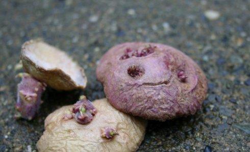seed-potatoes2