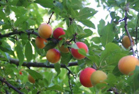 jj's plums