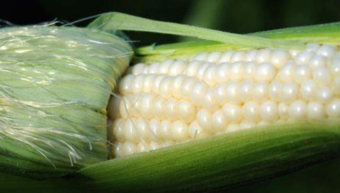 corn_0750